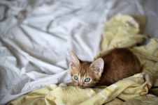 Ginger Kitten In Bed Sheets Stock Photography
