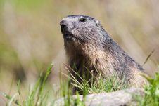 Free Alpine Marmot In Wild Stock Photography - 15353352