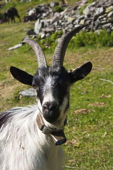 Free Goat Stock Photography - 15353792