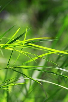 Free Bamboo Leaf Royalty Free Stock Images - 15353809