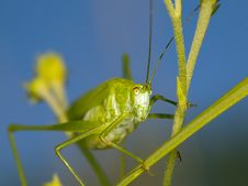 Free Large Grasshopper Royalty Free Stock Image - 15354056