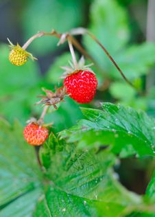 Free Beautiful Wild Wood Strawberries Bush Royalty Free Stock Images - 15354269