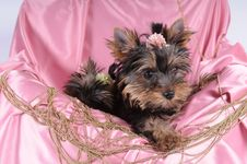 Free Yorkshire Terrier Pappy In Pink Silk And Beads Stock Photography - 15354292