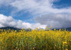 Yellow Oil Flower Royalty Free Stock Photos