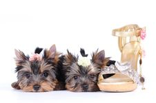 Free Two Yorkshire Terrier Puppies Royalty Free Stock Image - 15354976