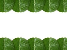 Free Plumeria Leaf Royalty Free Stock Image - 15358446