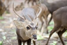 Free Deer Royalty Free Stock Photography - 15359017