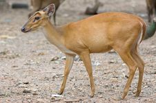 Free Barking Deer Royalty Free Stock Photo - 15359055