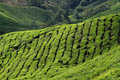 Free Tea Plantation Stock Photos - 15362913