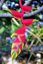 Free Heliconia Rostrata Stock Images - 15367004