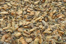 Free Dried Oysters Stock Photos - 15360563