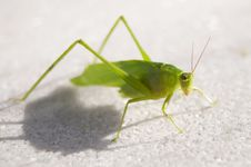 Free Katydid Royalty Free Stock Photography - 15360667