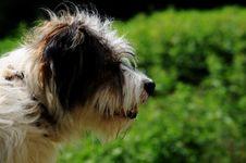 Free Sheep Dog Portrait Stock Image - 15360961