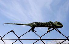 Free Lizard Royalty Free Stock Photography - 15360977