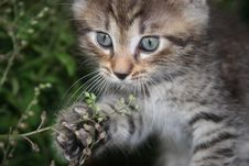 Free A  Playful  Kitten Royalty Free Stock Photos - 15361298