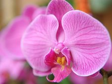 Free Orchid Royalty Free Stock Photos - 15361708
