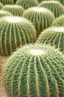 Free Ball Shaped Cactuses Stock Photography - 15361812