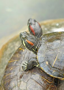 Free Pond Terrapin Stock Photography - 15361902
