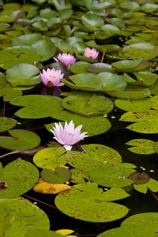 Free Water Lily Royalty Free Stock Images - 15362359