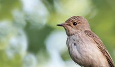 Spotted Flycatcher - A Portrait Royalty Free Stock Image