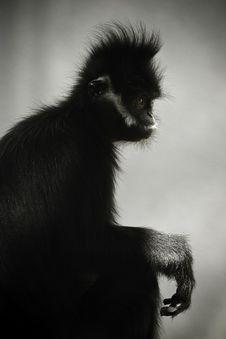 Free Monkey Royalty Free Stock Image - 15364296