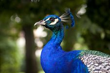 Free Blue Peacock Stock Image - 15364611