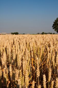 Free Wheat Field Royalty Free Stock Photo - 15364935