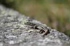 Lizard On A Wall
