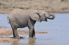 Free Elephant Royalty Free Stock Images - 15365809