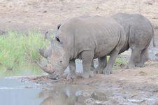 Free Rhino Duo At Waterhole Royalty Free Stock Image - 15365846