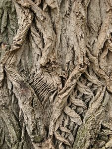 Free Tree Bark Royalty Free Stock Images - 15366479
