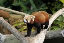 Free Red Panda Royalty Free Stock Photography - 15366537