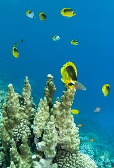 Free School Of Racoon Butterflyfish Stock Photography - 15366562