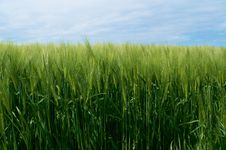 Free Rye Field Under A Blue Sky Stock Photography - 15366642