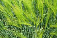 Free Rye Stalks Stock Photography - 15366672