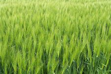 Free Rye Field In May Royalty Free Stock Photos - 15366768