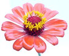 Free Flower Royalty Free Stock Photo - 15367255