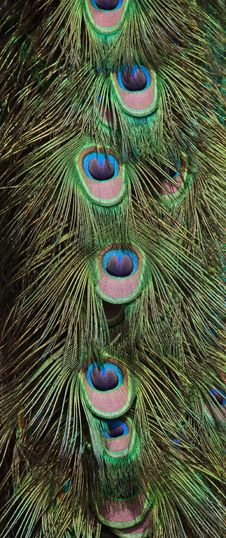 Free Peacock Feathers Royalty Free Stock Image - 15367366