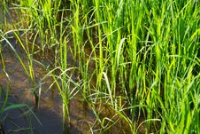 Free Paddy Plants Royalty Free Stock Images - 15367609