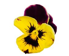 Free Dark Purple And Yellow Pansy On White Royalty Free Stock Photography - 15367627
