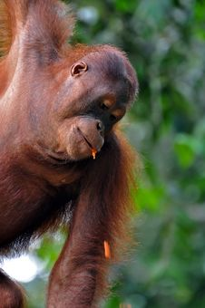 Free Orangutan Female Stock Image - 15367861