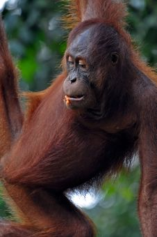 Free Orangutan Female Royalty Free Stock Photo - 15367885