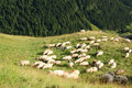 Free Sheep In High Mountains Near Pine Forest Stock Images - 15374834