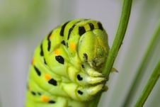 Free Caterpillar Head Stock Image - 15370171