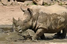 Rhino At Watering Place Royalty Free Stock Photo