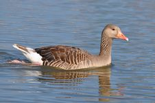 Greylag Goose And Beautiful Water Surface Stock Photography