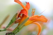 Free Lily Flower Stock Image - 15371761
