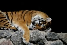 Free Sleeping Tiger Royalty Free Stock Images - 15372009