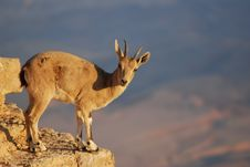 Free Ibex Royalty Free Stock Photography - 15373077