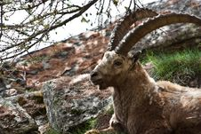Free Capra Ibex - Italian Alps Royalty Free Stock Photos - 15373228